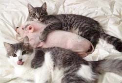 Two kittens and a piglet on a blanket