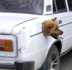 A dog's head poking out of the side of a car