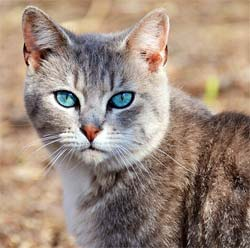 A unique looking cat with Caribbean blue eyes