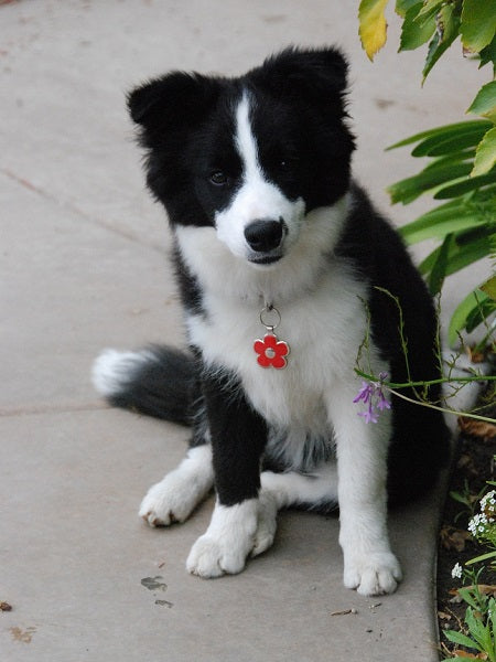 Abby and her red flower dog tag