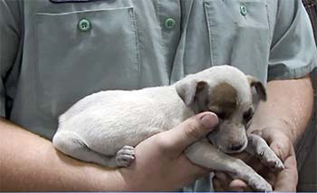 A tiny puppy in someone's hands.