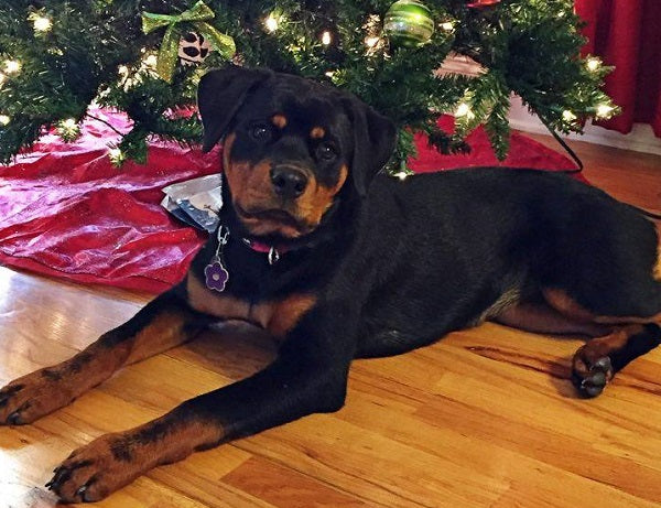 Sweet Rottweiler by the Christmas tree
