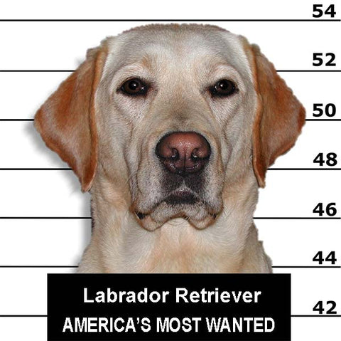 Lab in Lab Wanted Poster