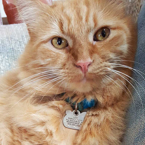 An orange kitty wearing a silver cat face shaped ID tag