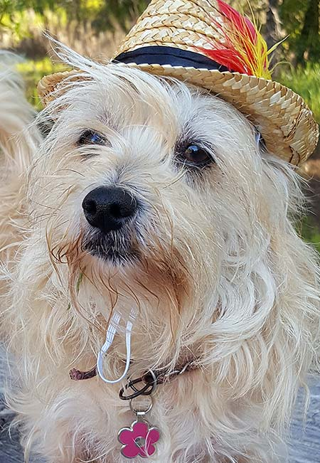 Cute dog wearing a fedora and a pink flower shaped pet tag.