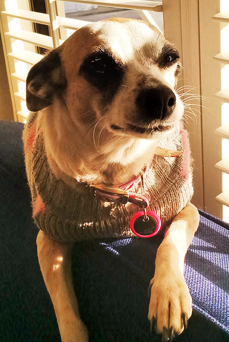 Small dog with a sweater and a bright pink pet tag.