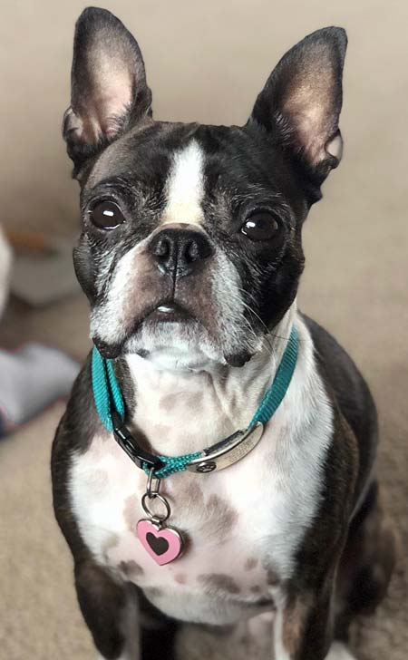 Boston terrier wearing a pink heart shaped pet tag.