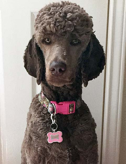 A poodle sitting upright and showing off her pink tag