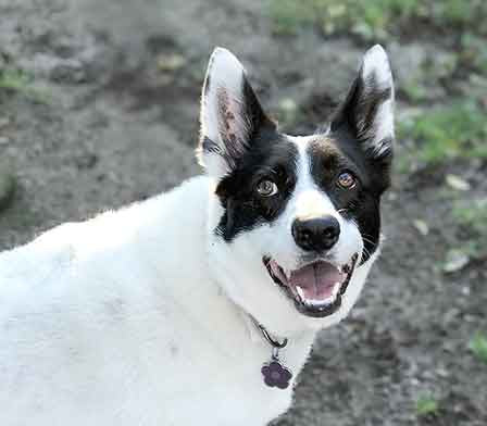 Black and white dog smiling for the camera