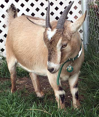 A goat wearing a collar and pet tag
