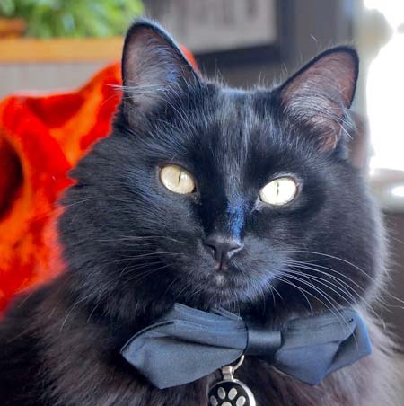 Black cat with a black bow tie and black pet tag