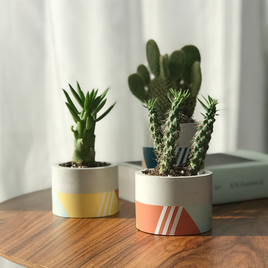 minimalist small tri color concrete planters with cacti on walnut table
