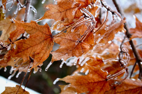 Fall turns to winter quickly in Minnesota, with icicles clinging to yet unshed fall leaves. Photo by Nicole De Khors.