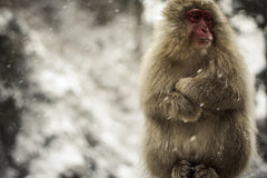 Furry monkey in the snow.