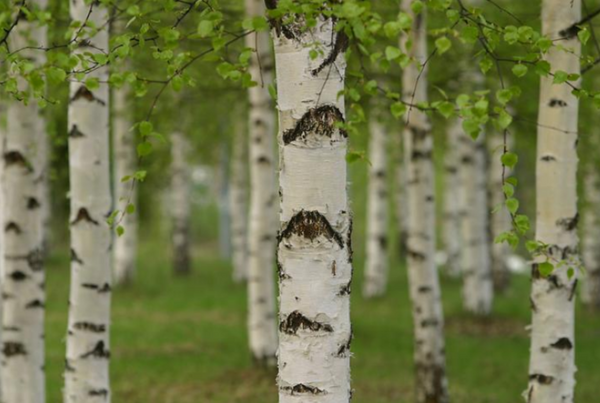 It's all about that Birch