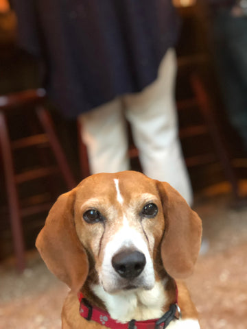 Baxter the Beagle