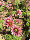 Sempervivum 'Braunii'