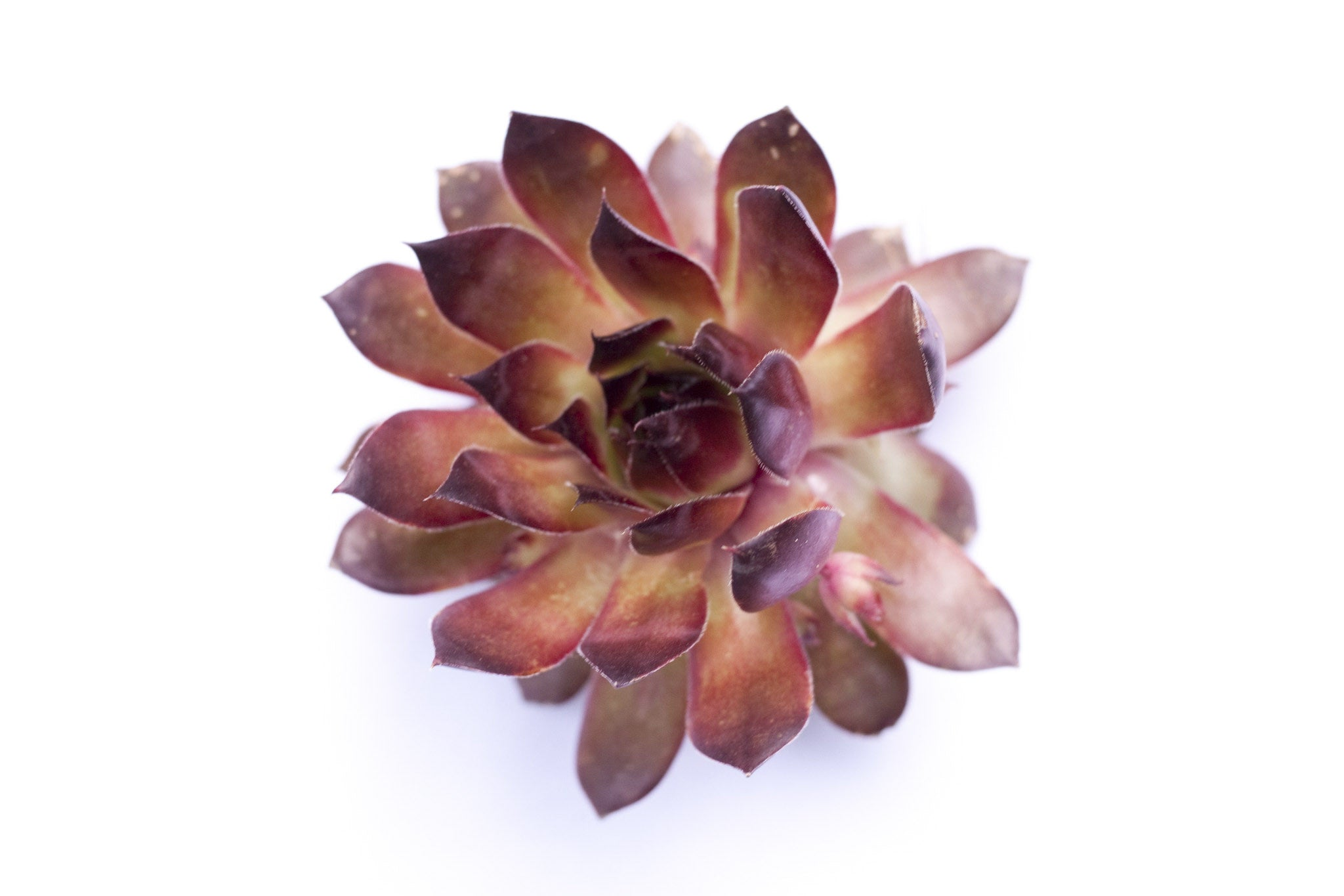 henandchicks_succulents_sempervivum_black