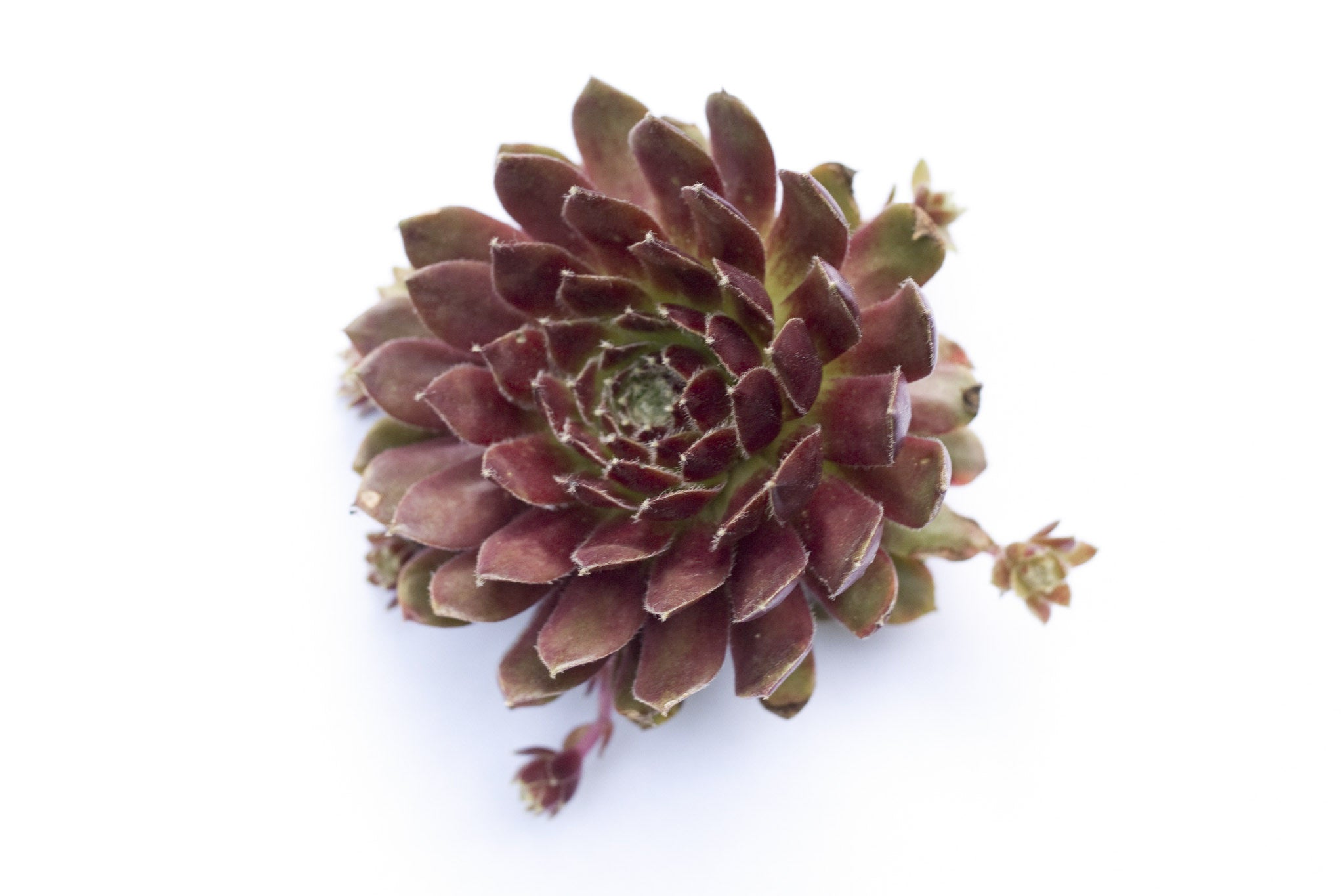 henandchicks_succulents_sempervivum_pileosium