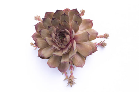 henandchicks_succulents_sempervivum_raspberry_ice