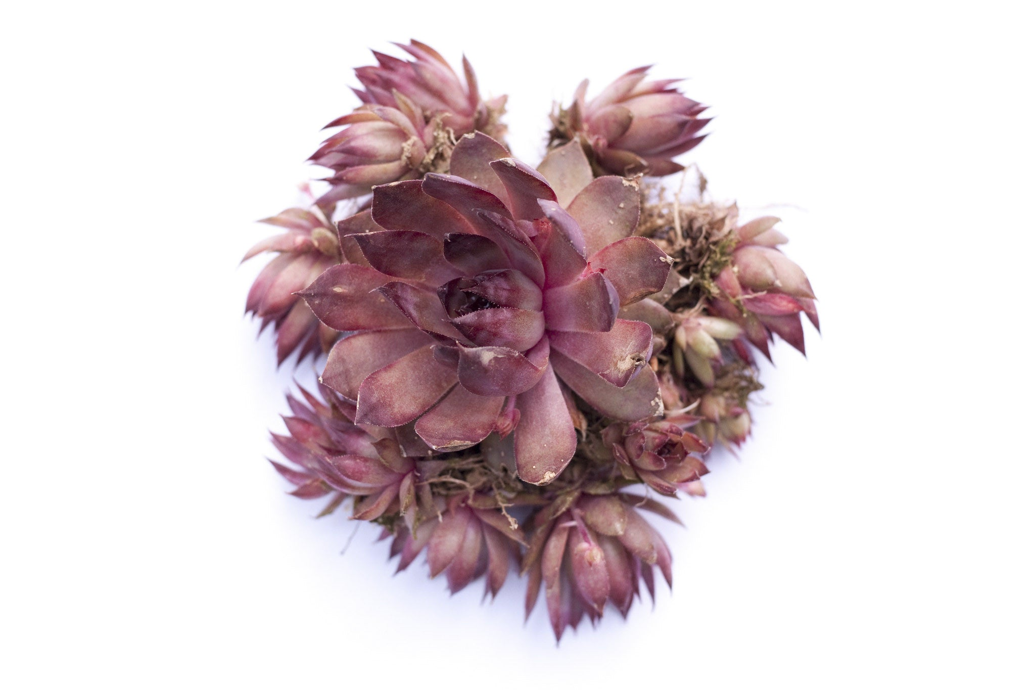 henandchicks_succulents_sempervivum_red_beauty