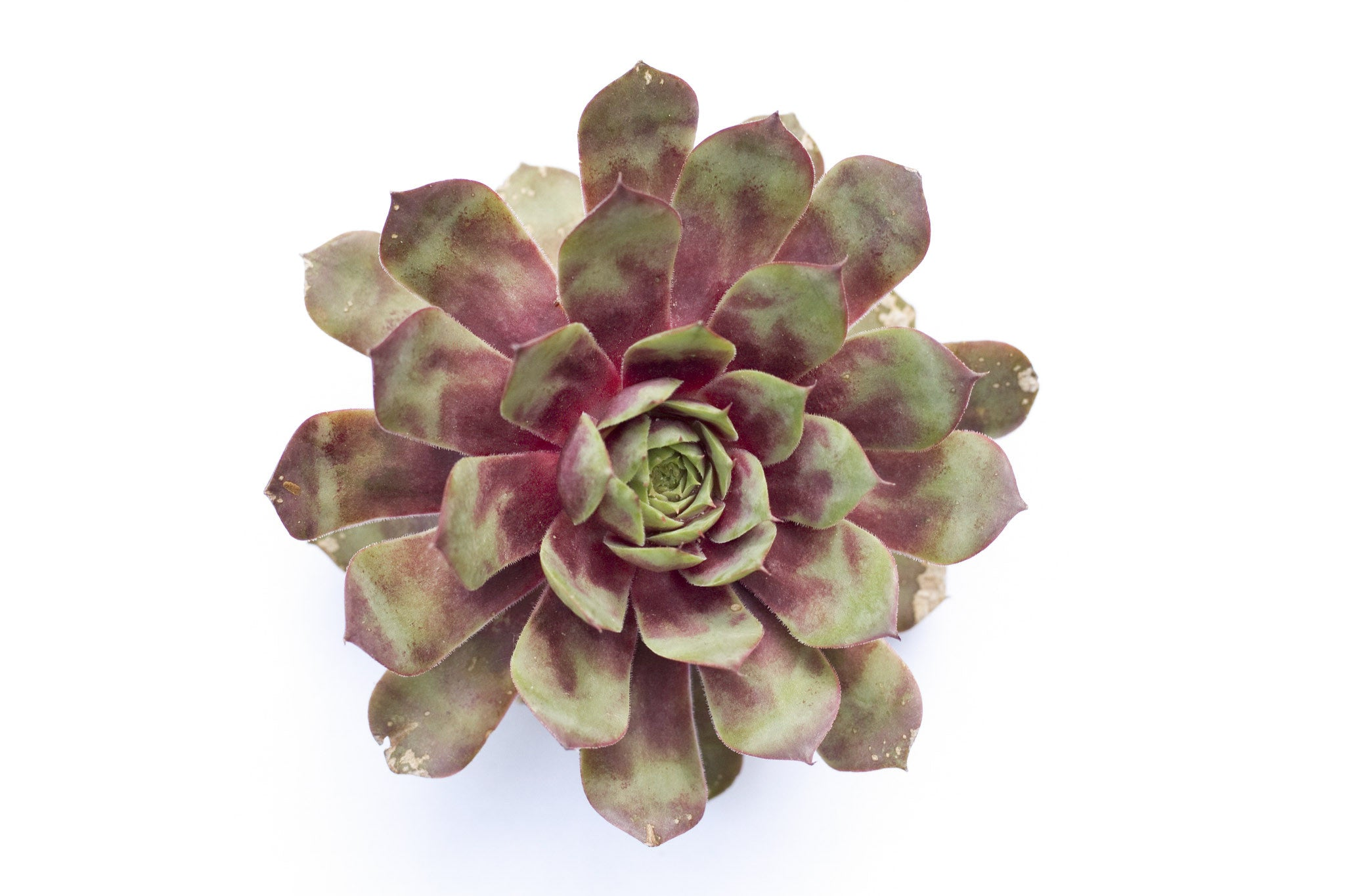 henandchicks_succulents_sempervivum_ruby_heart
