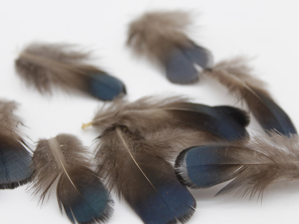 Golden Pheasant Blue Plumage Feathers