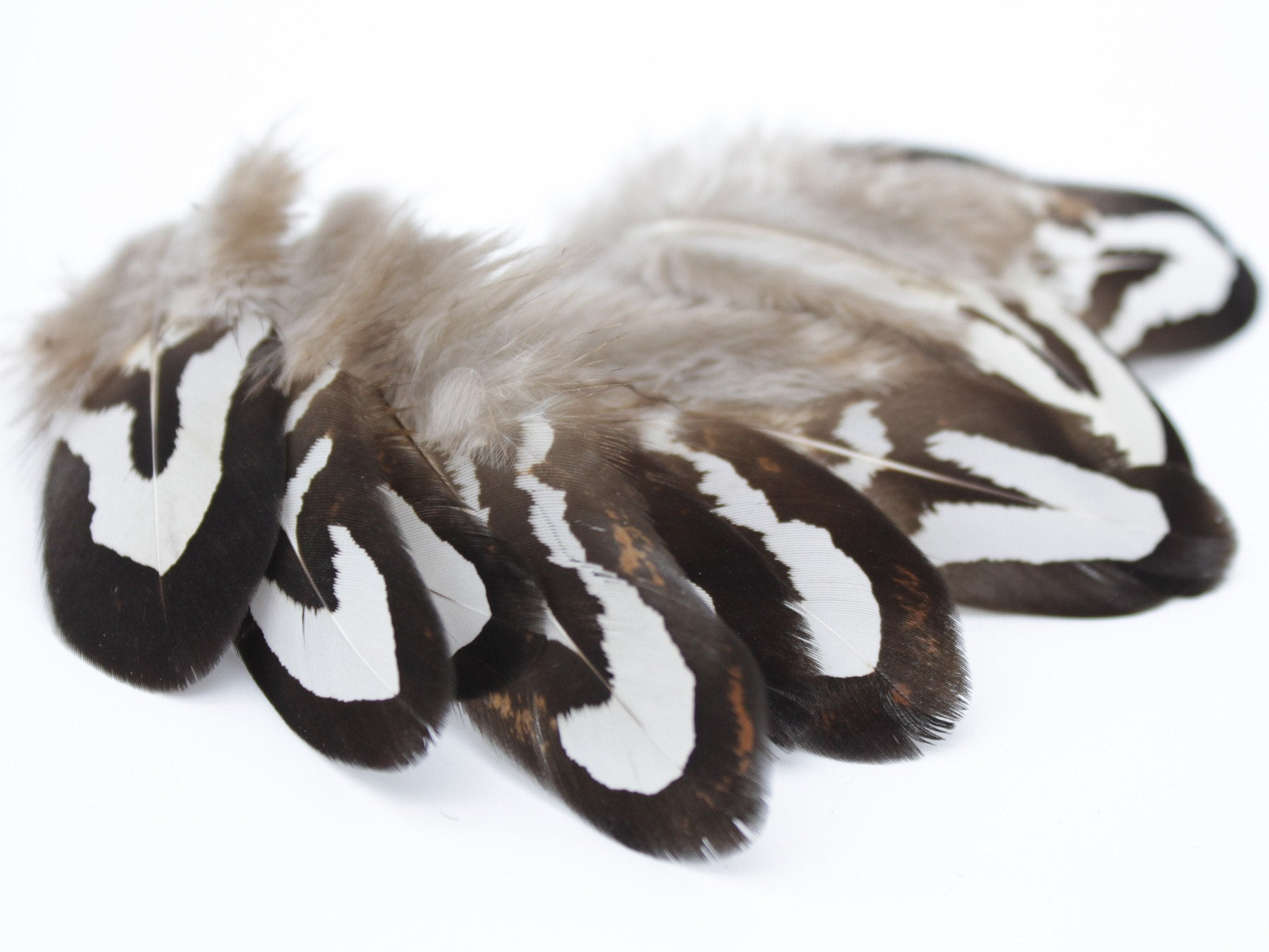 How to clean pheasant feathers - Reeves Venery Pheasant Black White Plumage Feathers