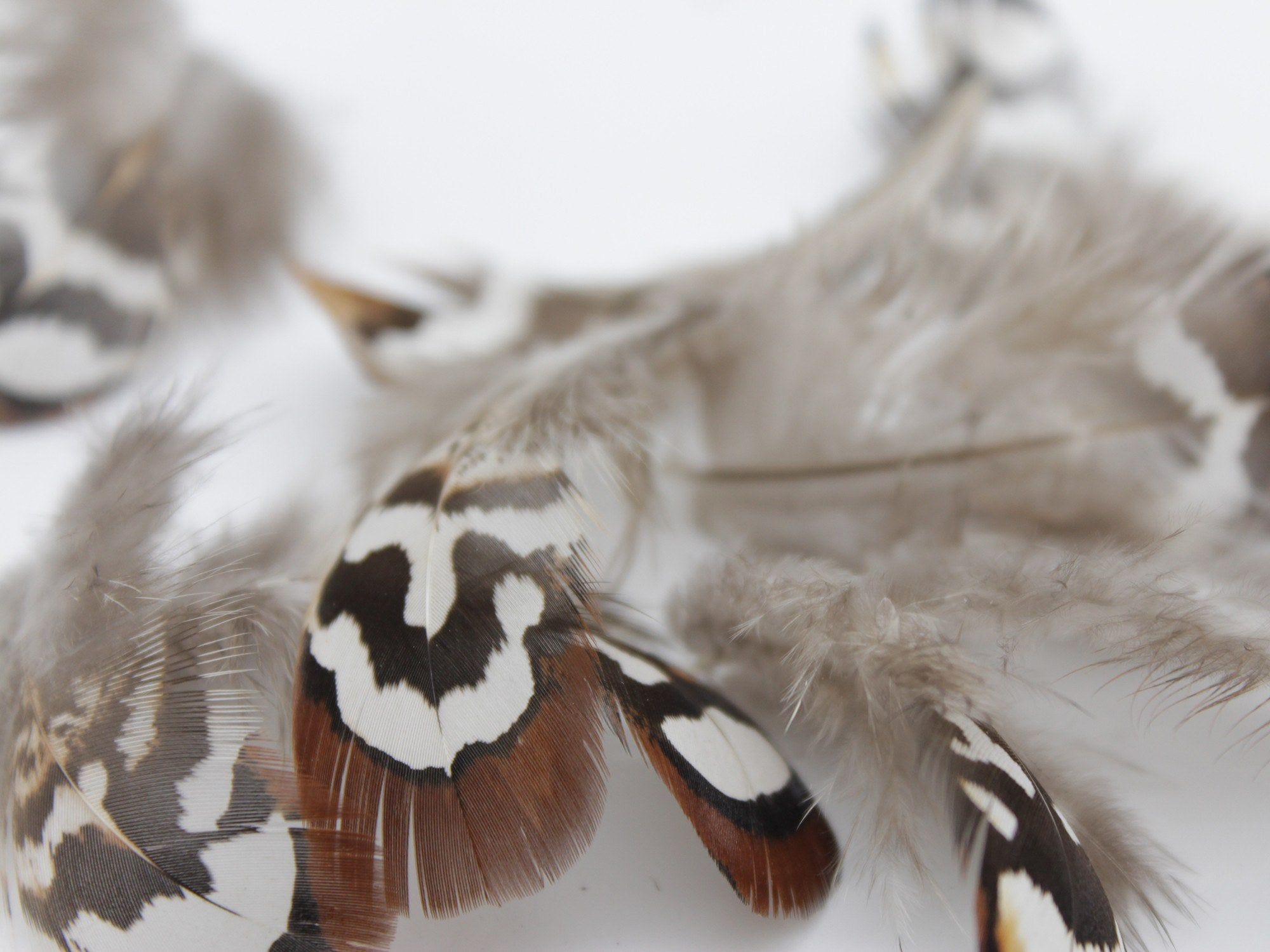 How to clean pheasant feathers - Reeves Venery Pheasant Brown Plumage Feathers