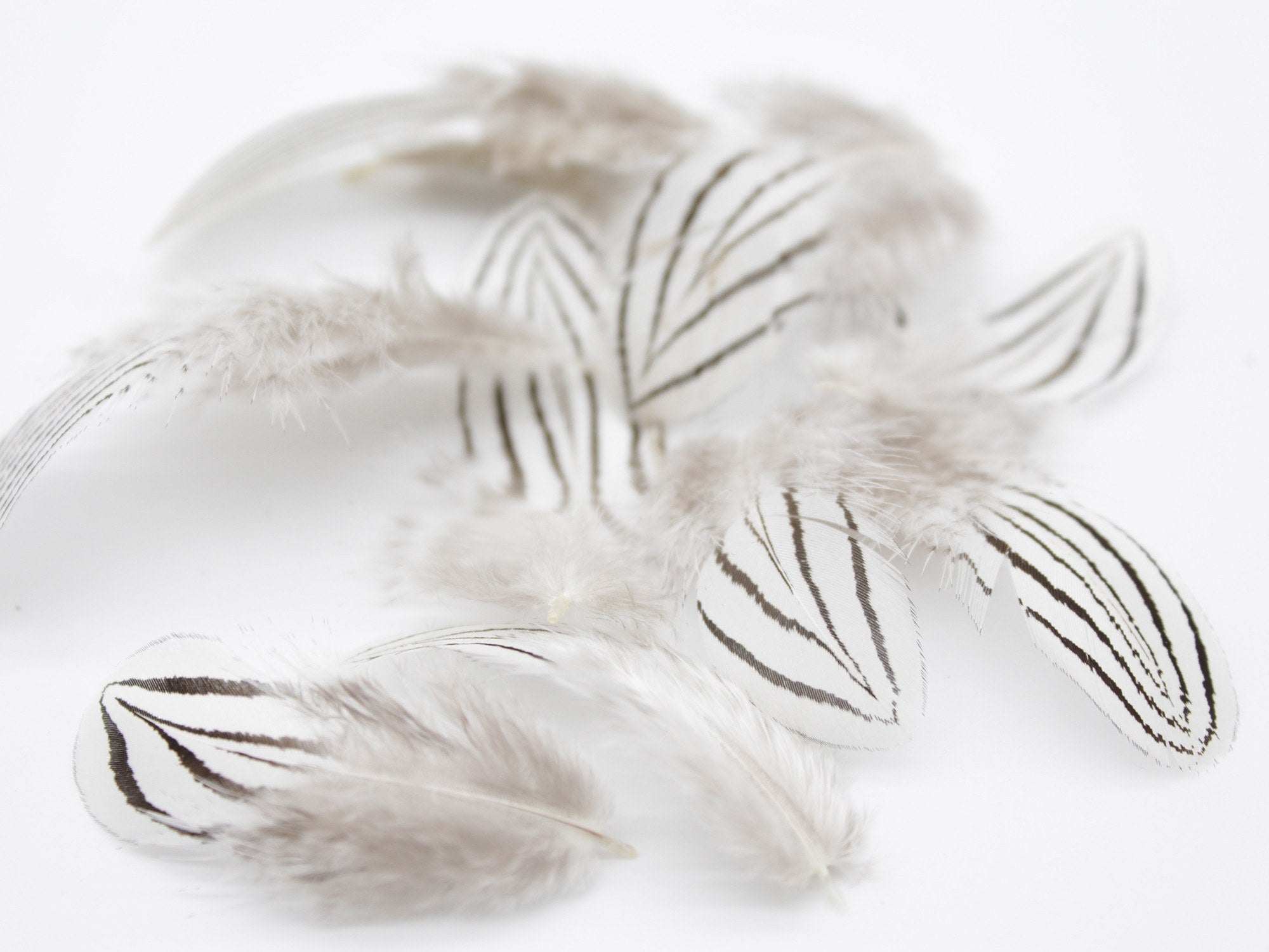 How to clean pheasant feathers - Silver Pheasant Black White Plumage Feathers