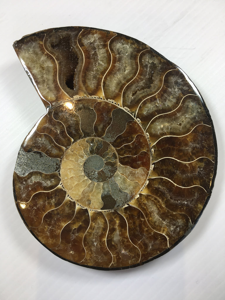 Large polished ammonite pair