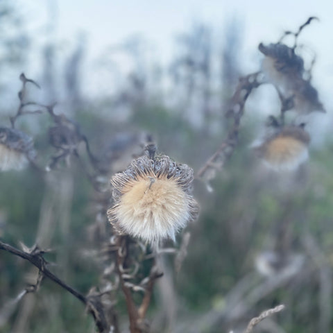 silvery thistle plant in autumn backdrop