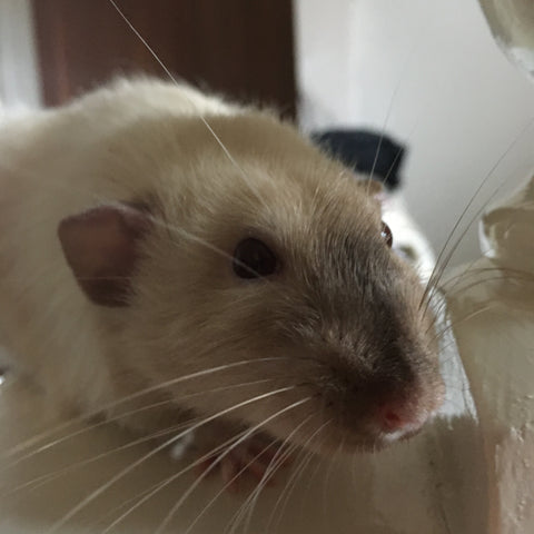 Smudge the Rat