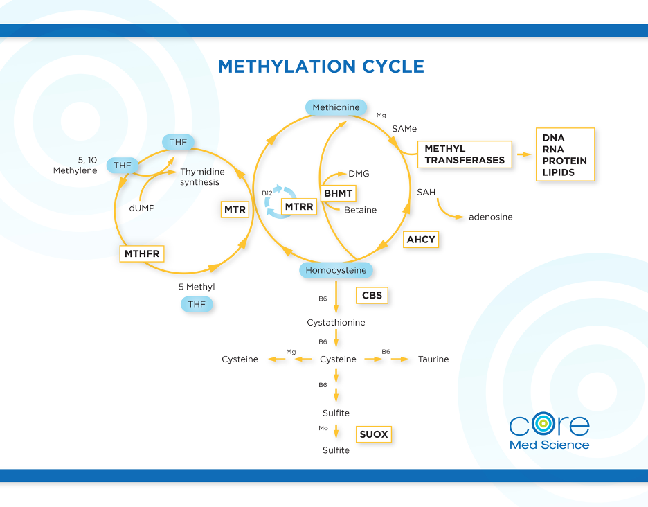 The Methylation Cycle