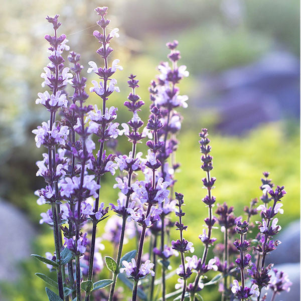 Meet The Plant Clary sage - skin health