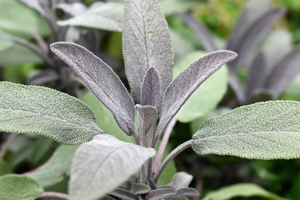 Meet the plant sage - skin health