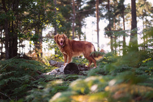 Everything you need to know about Lyme disease in dogs and the canine lyme vaccination