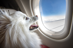 DJANGO Dog Blog - Can pets fly in business and first class cabins on airlines? - djangobrand.com