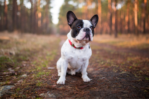 DJANGO Dog Blog - Parvovirus in Dogs: Causes, Symptoms, Treatment, and Prevention