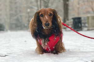 - The Best Dog Boots & Paw Protectors for Winter Adventures - Photo of Django, @djangothegent