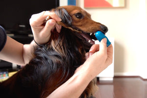 How to Brush Your Dog's Teeth - A Simple Yet Powerful Trick (Video)