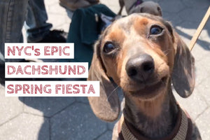 We joined hundreds of sausage dogs at NYC's Dachshund Spring Fiesta (video)