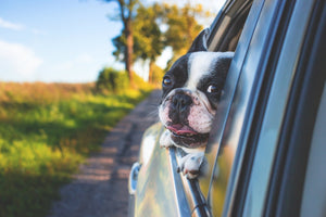 An unrestrained dog - whether curled up on a lap or hanging its head out the window - can be deadly