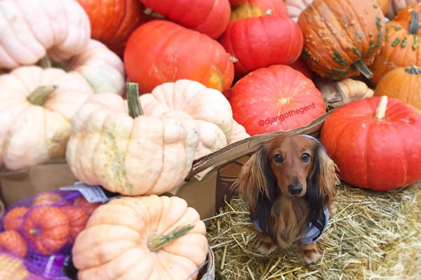 5 Healthy DIY Pumpkin Dog Treats