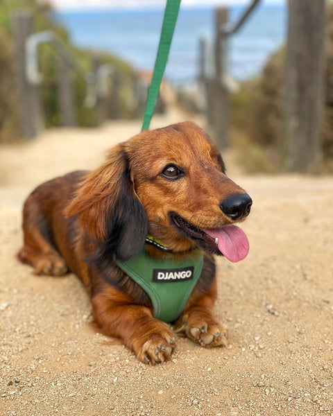 Winston is a 13lb dachshund and wears a size small DJANGO Adventure Dog Harness. He is wearing color Forest Green - djangobrand.com