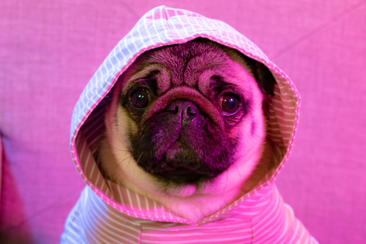 Interview: Philomena the Pug, Instagram's Sassiest and Most Persevering Pug