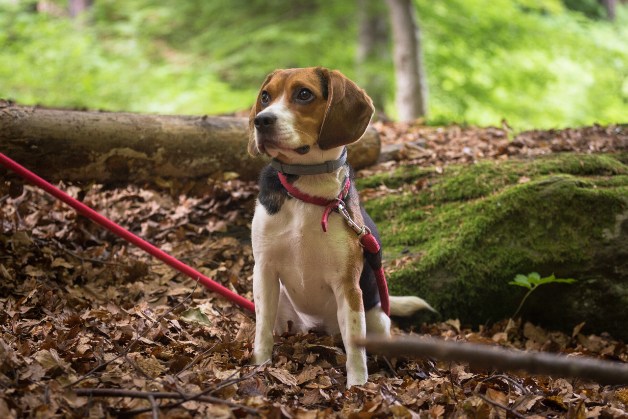 Beagle - A great small dog breed for hiking, backpacking, camping, and other outdoor adventures - djangobrand.com