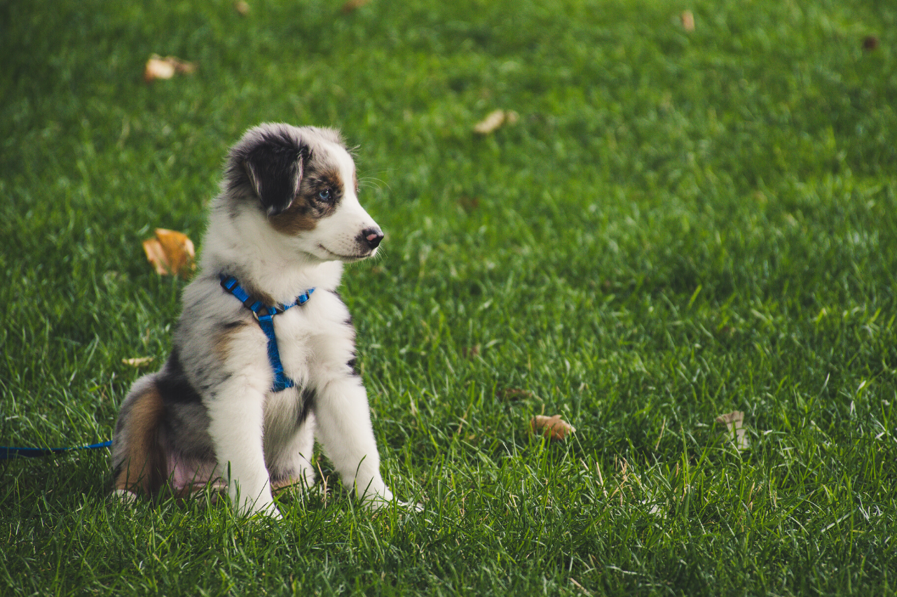 Mini Australian Shepherd - A great small dog breed for hiking, backpacking, camping, and other outdoor adventures - djangobrand.com