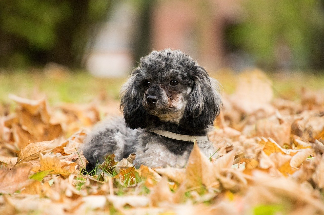 Miniature Poodle - A great small dog breed for hiking, backpacking, camping, and other outdoor adventures - djangobrand.com