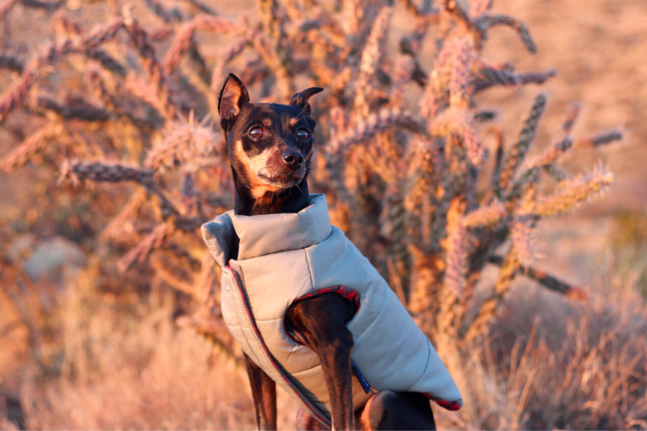 Miniature Pinscher - A great small dog breed for hiking, backpacking, camping, and other outdoor adventures - djangobrand.com